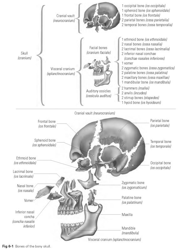cranial anatomy - dental technology: how-to, tips, Human Body