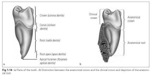 Teeth Anatomy Dental Technology How To Tips