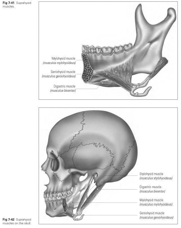 Muscle Groups of the Hyoid Bone - Dental Technology: How-To, Tips