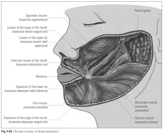 Perioral Muscles Of Facial Expression Dental Technology How To Tips