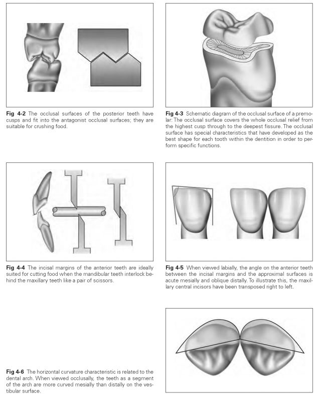 Characteristic Features Of Tooth Forms Dental Technology How To Tips