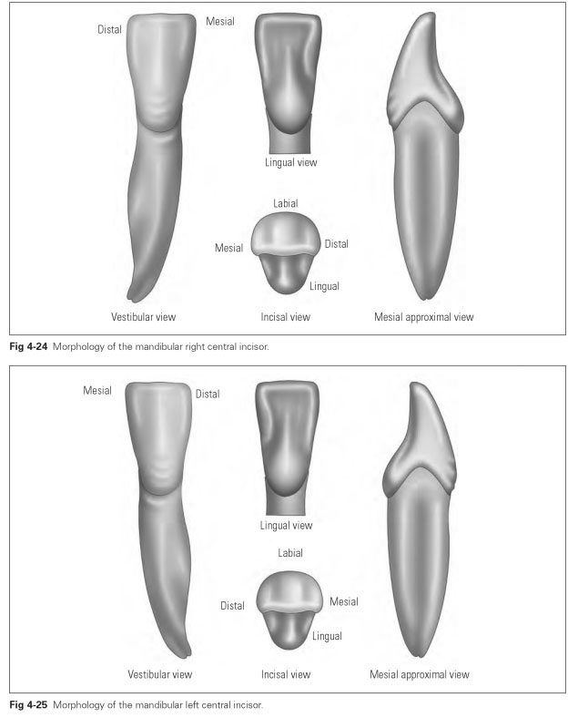 incisors - Vaydile.euforic.co