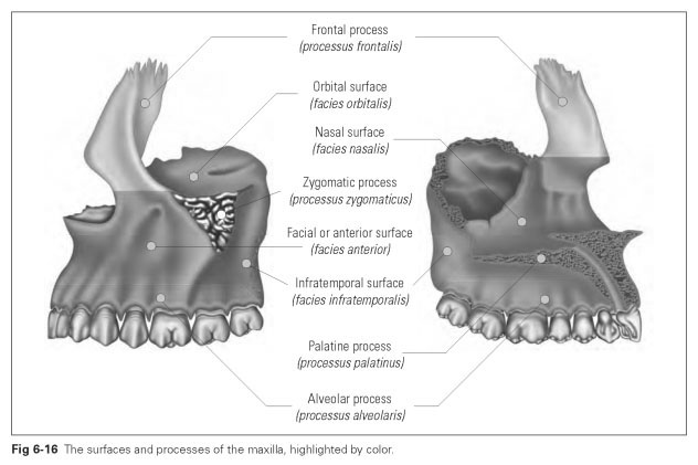 in the bottom of the sulcus and the canal there are tiny holes through which nerves from the maxillary anterior teeth pass