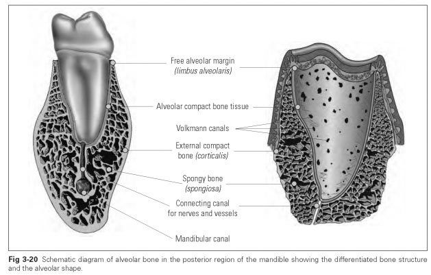 alveolar bone The alveolus bone is the part of the upper jaw that forms the sockets around the roots of the upper teeth under the gum tissue when teeth are lost, the alveolar bone.