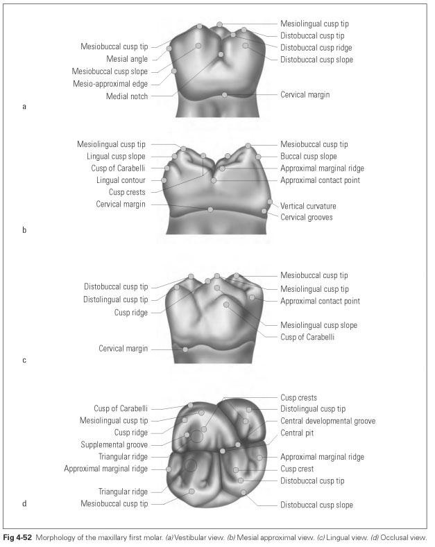 Molars Dental Technology How To Tips