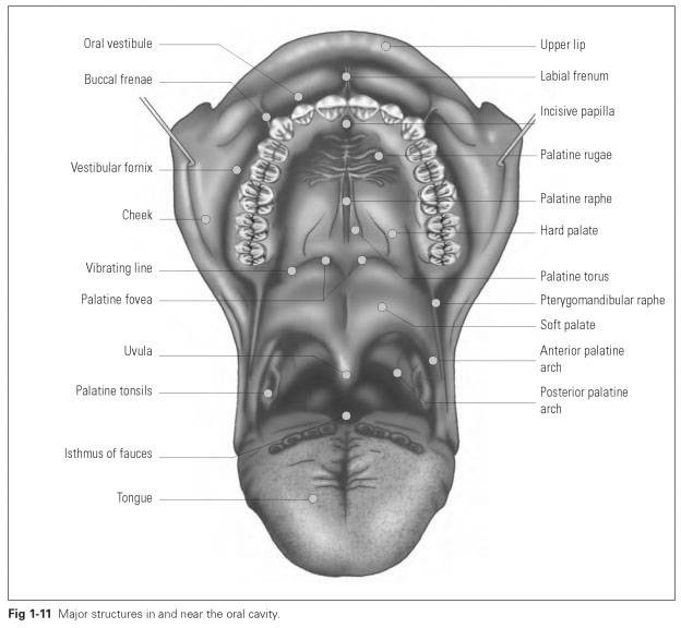 Anatomy of the oral cavity - Dental Technology: How-To, Tips
