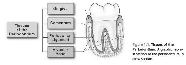 Tissues of the periodontium