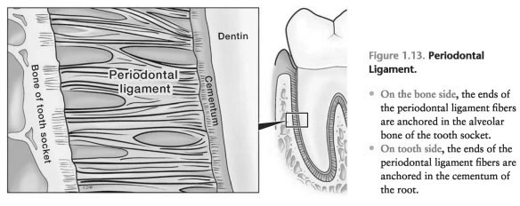 Periodontal ligament function