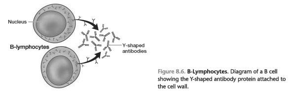 T lymphocytes maturation