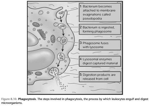 Phagocytosis is