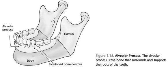 Alveolar bone crest