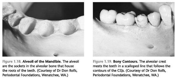 Alveolar bone proper