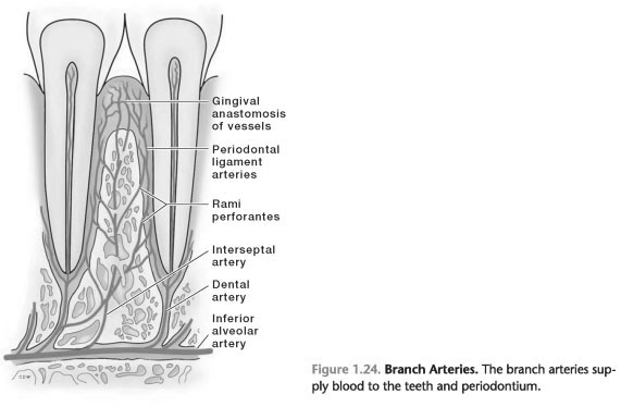 Vascular supply of periodontal ligament