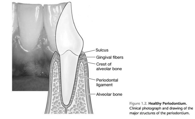 Tissues and cells of the periodontium