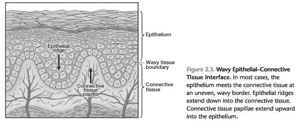 Epithelial connective tissue differences