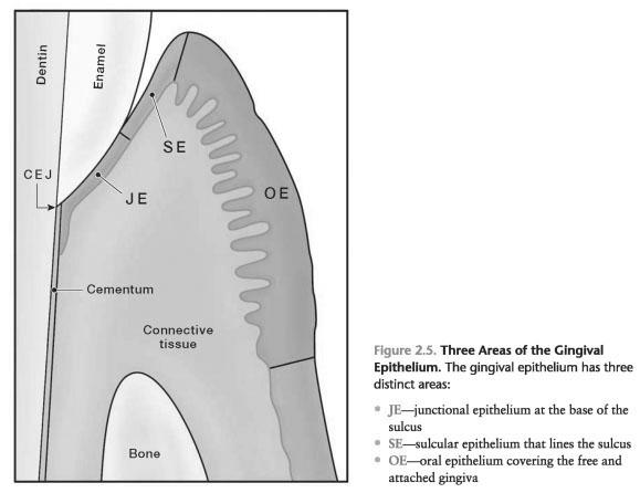 Gingival epithelial hamartoma
