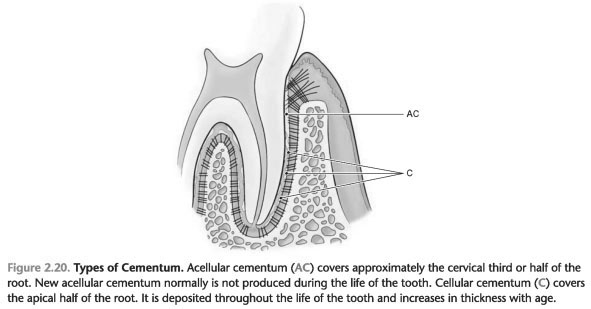 Cementum tooth