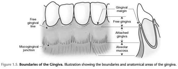 The gingival index