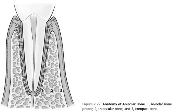 Anatomy of alveolar bone