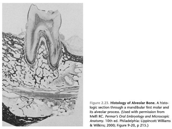 Alveolar bone anatomy ppt