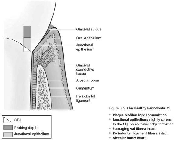 Healthy periodontium