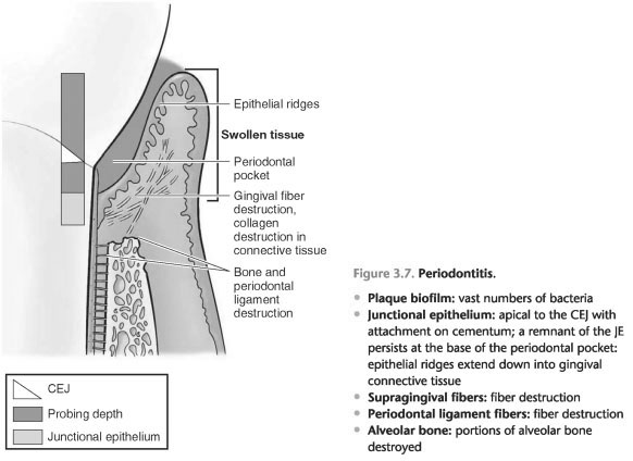 Gingival connective tissue fibres are primarily composed of