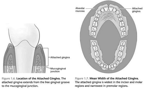 Width of attached Gingiva- pdf