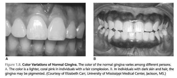 Biological width of attached gingiva