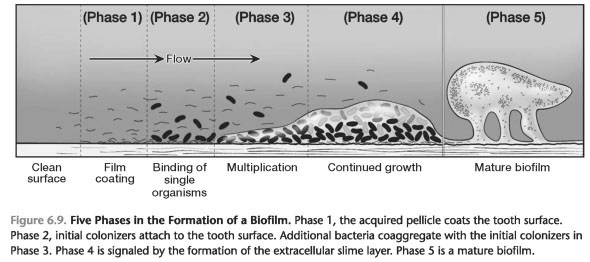 The Structure and Colonization of Plaque Biofilms