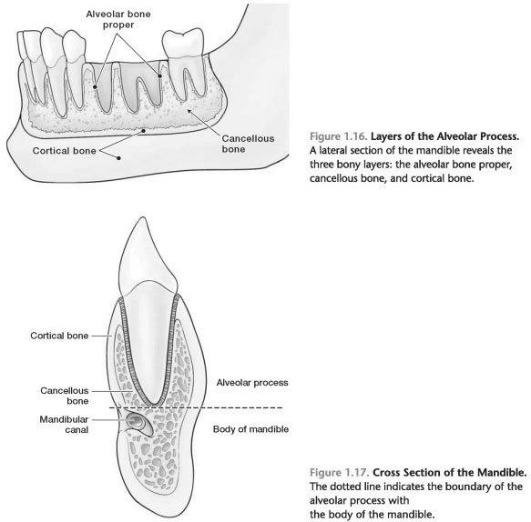 Alveolar process of maxilla