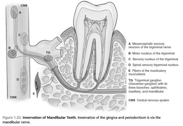 Periodontal tissues comprise