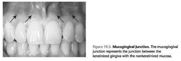 Mucogingival junction function