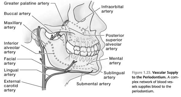 Blood supply of periodontal ligament