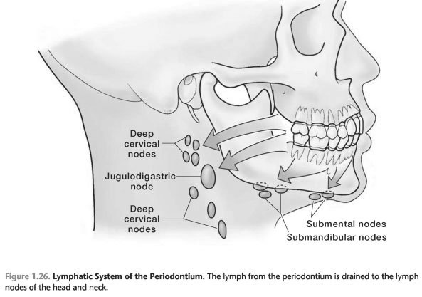 Lymphatic system and the periodontium