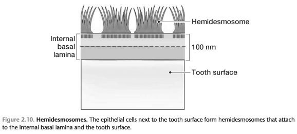 ATTACHMENT OF THE CELLS OF THE JUNCTIONAL EPITHELIUM