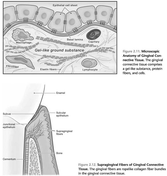 MICROSCOPIC ANATOMY OF GINGIVAL CONNECTIVE TISSUE - Foundations of ...