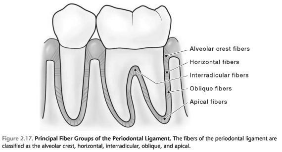 Periodontal ligament pdf